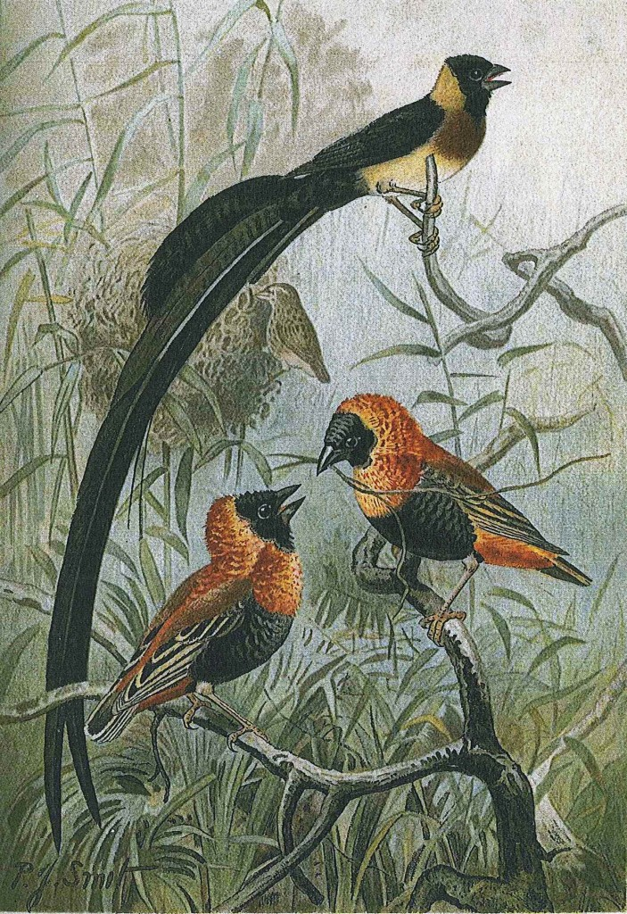 Color plate of bishop birds, The Royal Natural History, p. 363