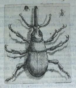 Illustration of a weevil.