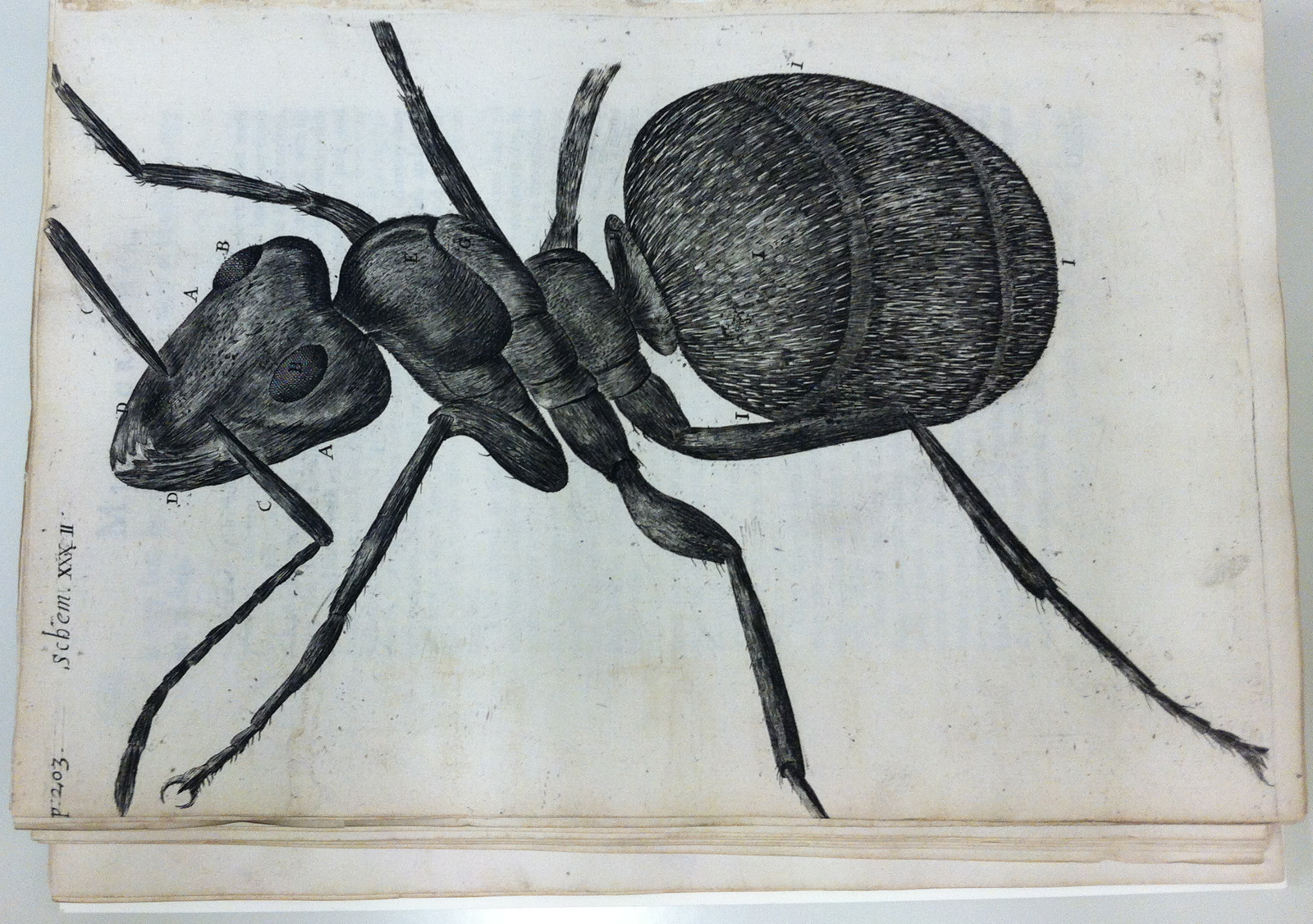 Illustration of an ant from Hooke's Micrographia.