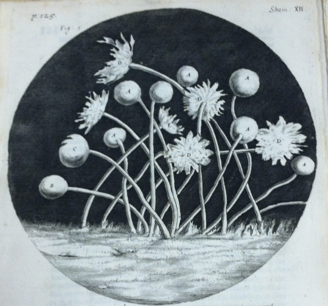 Illustration of 'blue mould' from Hooke's micrographia.