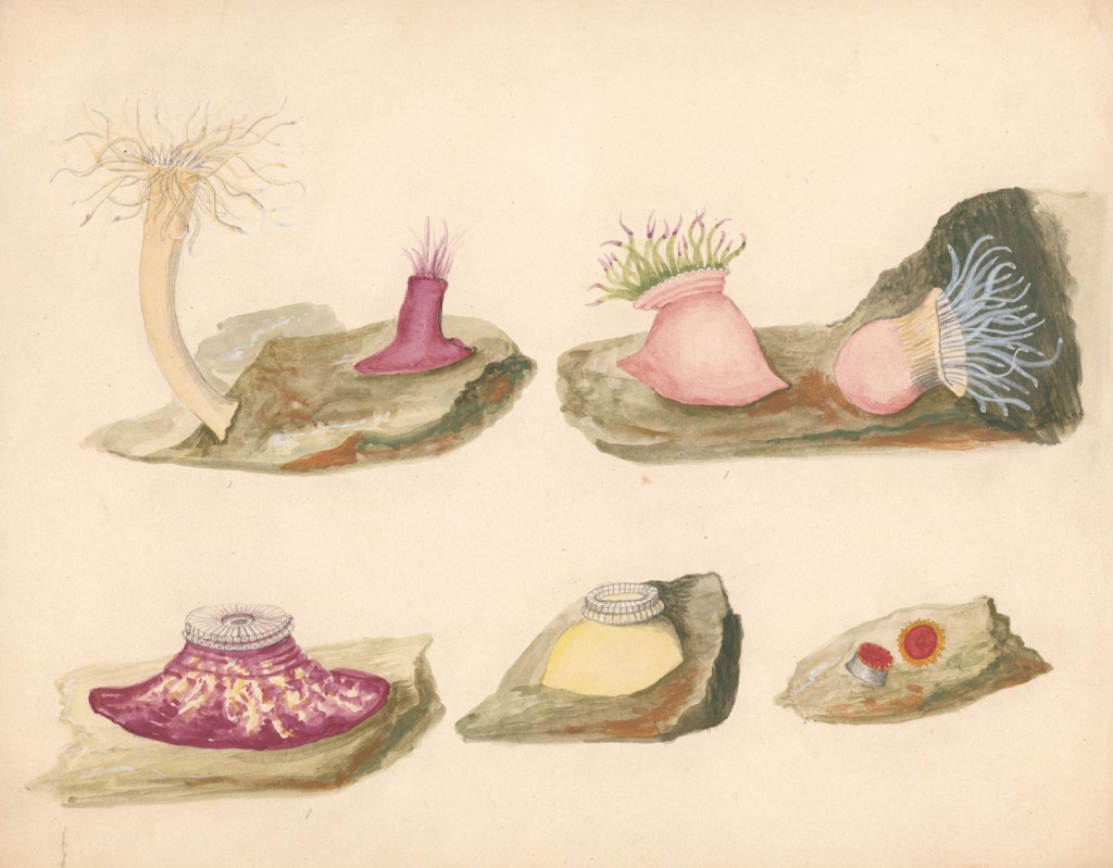 Drawing of marine invertebrates, Leopold and Rudolf Blascha, 1863-1890