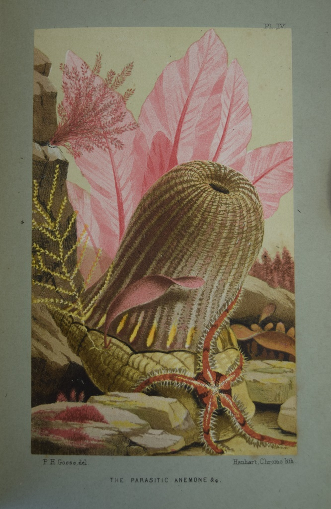 A color plate of a parasitic anemone