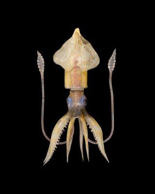 Specimen of Blaschka Marine Life: Ommastrephes sagittatus (Nr. 578), Leopold and Rudolf Blaschka, Dresden, Germany, 1885. Lent by Cornell University, Department of Ecology and Evolutionary Biology. L.17.3.63-218.