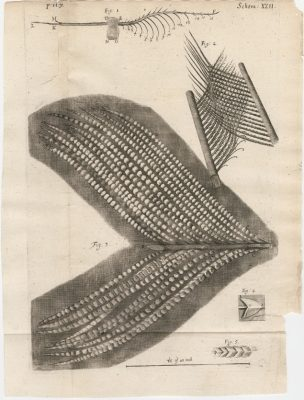 Illustration from Micrographia (London, 1665), Robert Hooke.