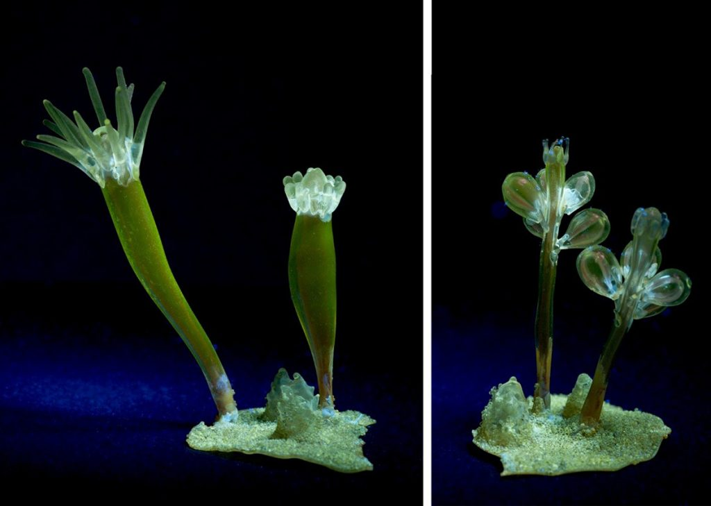 Figure 3: The same two sections of Podocoryne carnea under longwave UV