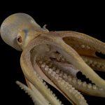 Octopus salutii (Blaschka Nr. 573)