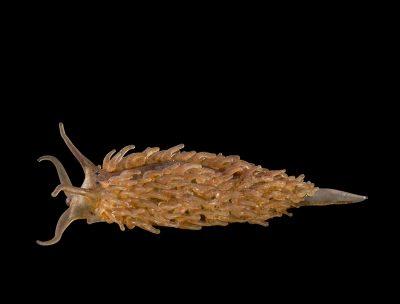 Blaschka Nr. 369, Aeolis papillosa (1885); Aeolidia papillosa (2016)