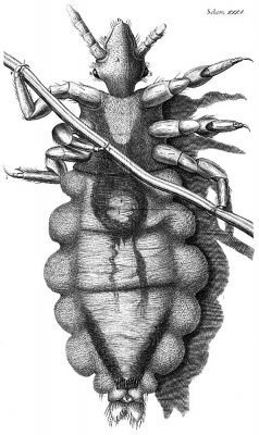 Robert Hooke's drawing of a louse from Micrographia.