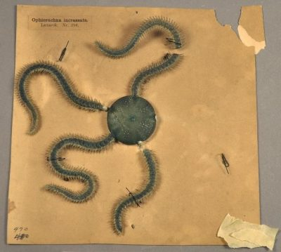 Before treatment of Ophiorachna incrassata (Nr. 258)