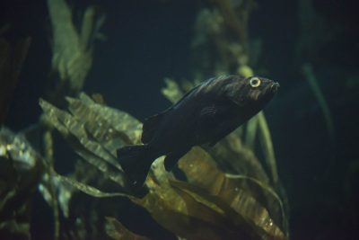 At the Vancouver Aquarium, a rockfish with a prosthetic eye swims in its habitat.
